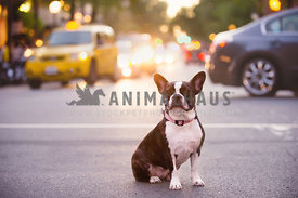 french bulldog in city street with traffic