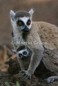 Female Ring-Tailed Lemur (Lemur catta) with her pup, Berenty Reserve, Madagascar