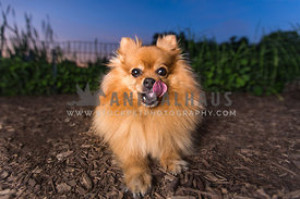 pomeranian wide angle tounge out