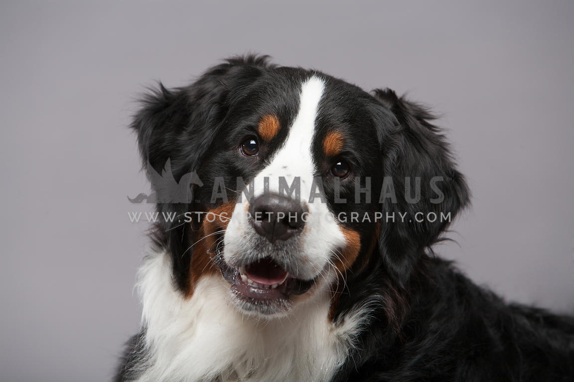 Bernese Mountain Dog sitting in studio with grey background