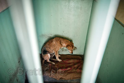 Injured dog at the Tree of Life for Animals rescue center in Pushkar, India