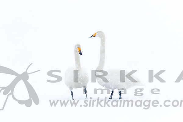 Whooper Swans in snowfall