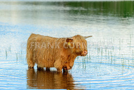 Highland Cow in water