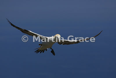 Flying Adult Northern Gannet (Morus bassanus) preparing to land, Bempton Cliffs (RSPB), East Riding of Yorkshire, England: Im...