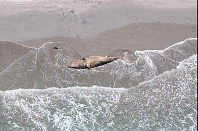 Aerial view of dead Humpback whale (Megaptera novaeangliae) female calf, stranded on a remote beach. South Africa.