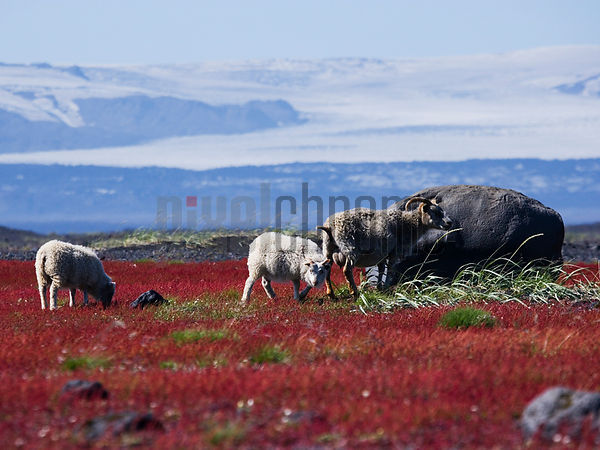 Sheep in Field by Glacier, Myrdalsjokull Glacier, Iceland