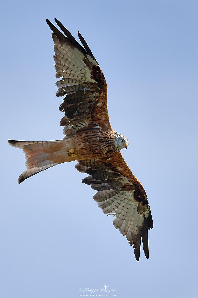 Red kite in flight