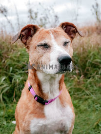 Senior large mutt with eyes closed in a field