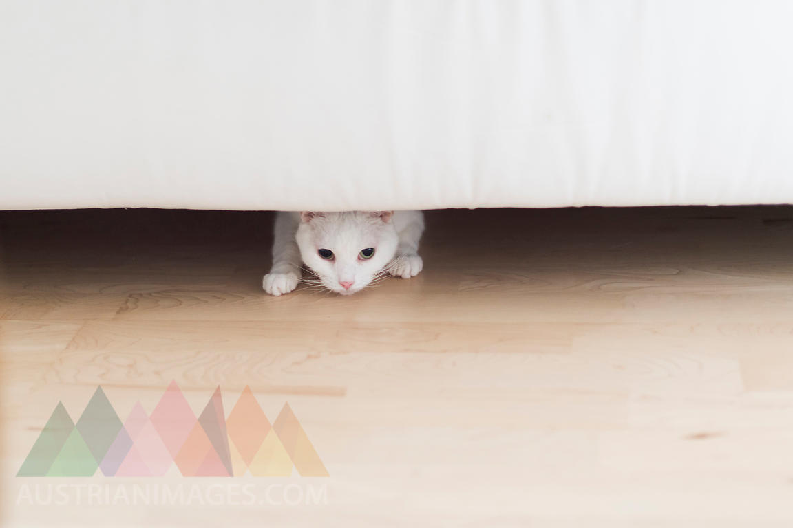 White cat crouching under the couch at home