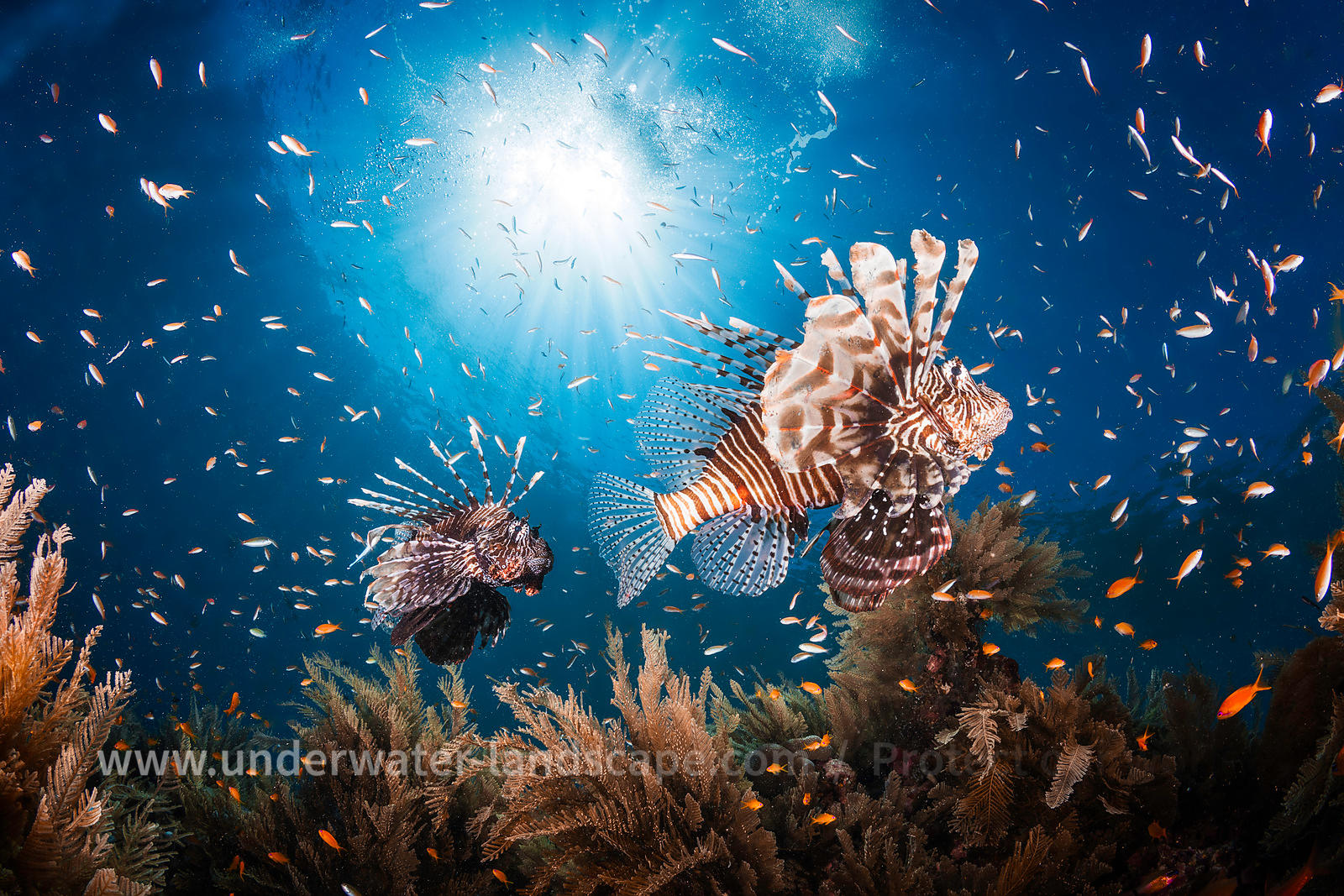Lionfish underwater photo in Moheli island