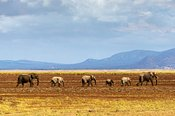 Row of Elephants Walking in Dried Lake
