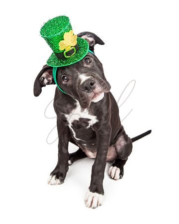 St Patricks Day Puppy Tilting Head