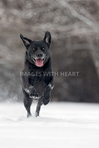 Happy black lab running in the snow