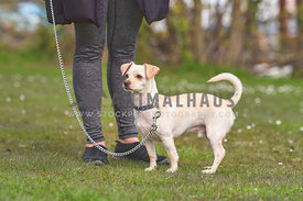 white chihuahua mix on leash standing in grass in front of mom's legs