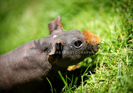 skinny pig walking through grass