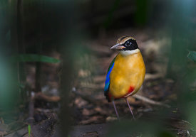 Blue-winged Pitta (Pitta moluccensis) Singapore