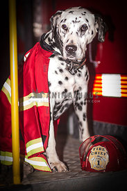 Dalmatian dog sitting on a fire truck wearing a fluoro vest with helmut in front near feet.
