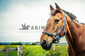 head shot of bay horse in fields