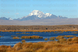 Totora reeds (Schoenoplectus californicus ssp. tatora), Mt Huayna Potosí in background, Inner Lake, Lake Titicaca, Bolivia