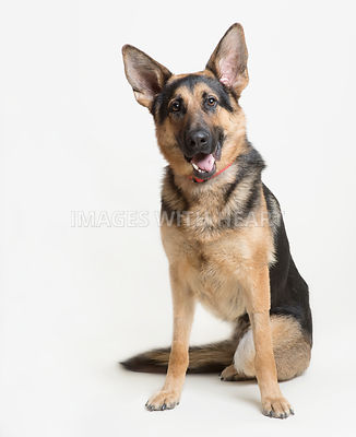 Three legged German Shepherd