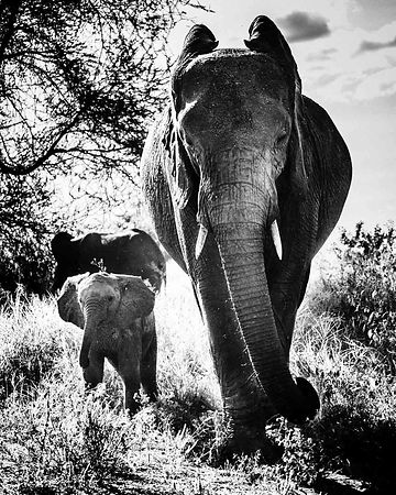 07583-Baby_elephant_and_mother_side_by_side_Tanzania_2018_Laurent_Baheux