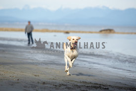 Yellow lab dog running on the beach with owner in the background