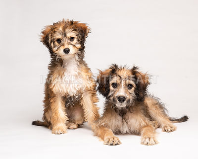 Two shaggy mixed breed puppies isolated on white