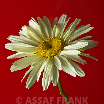 Daisy flower close-up