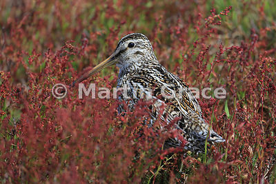 Magellanic (or South American) Snipe (Gallinago paraguaiae magellanica) standing in Sheep's Sorrel (Rumex acetosella), Sea Li...