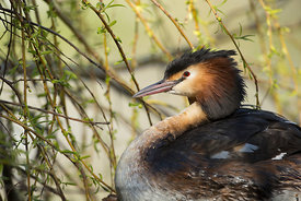 Great Crested Grebe, Yorkshire