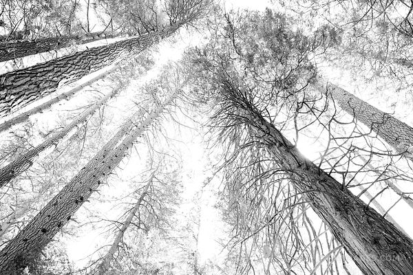 FOREST YOSEMITE NATIONAL PARK BLACK AND WHITE