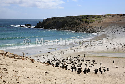 Gentoo Penguins (Pygoscelis papua papua) on Green Rincon Beach, Pebble Island, Falkland Islands