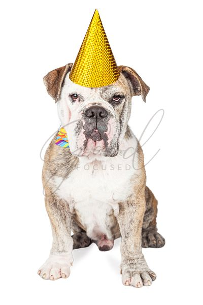 Funny Birthday Party Bulldog