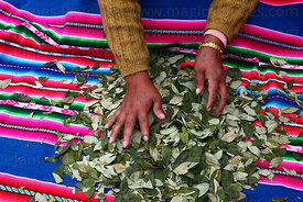 Woman sorting coca leaves ( Erythroxylum coca ) in market , La Paz , Bolivia