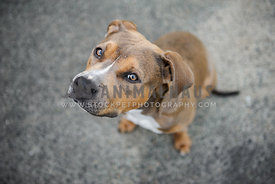 Sable Amstaff sitting on concrete looking up at camera