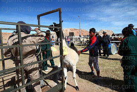 Dragging a llama that has been selected to take part in competition into the weighing cage, Curahuara de Carangas, Bolivia