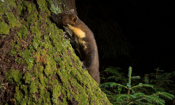My final night of camera trapping with the Pine Marten