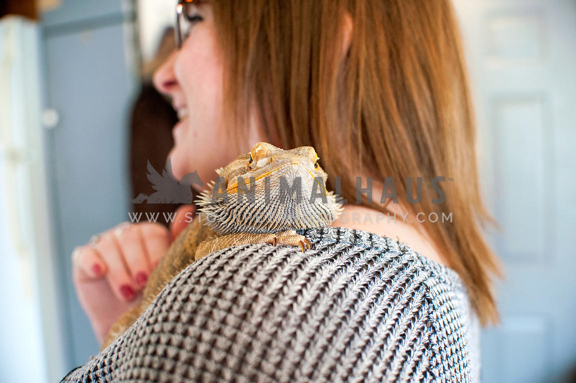 Animalhaus Media | Bearded dragon perched on owner's