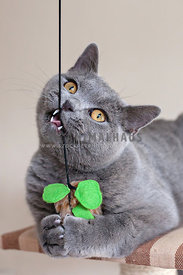 British Blue cat playing with toy mouse