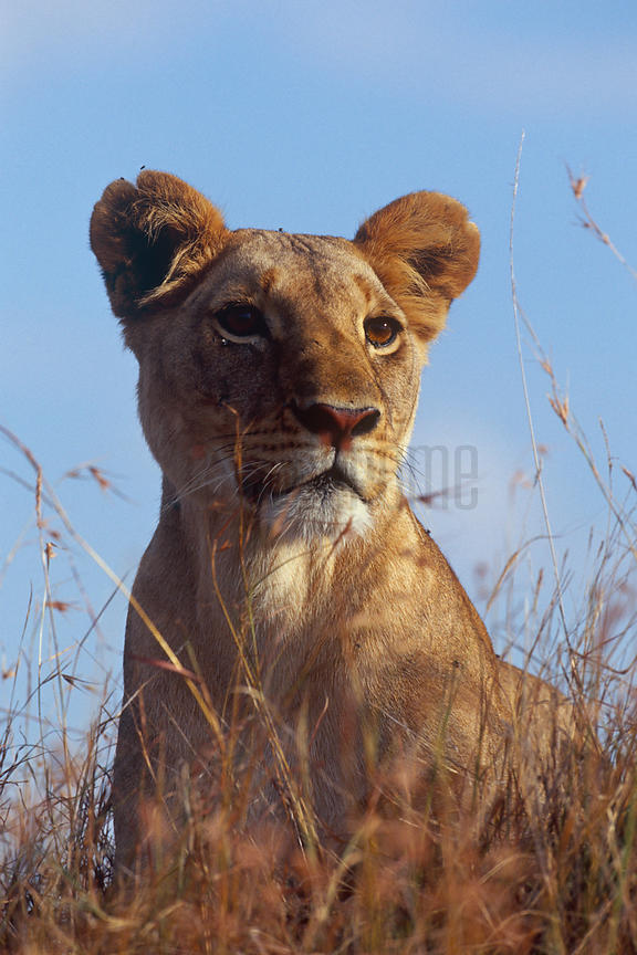 Portrait of a Lioness in Tall Grass