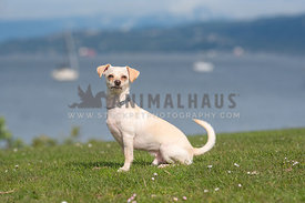 white chihuahua mix sitting in grass in front of water