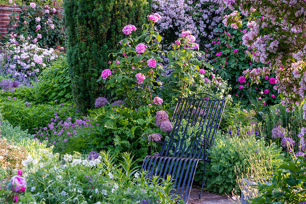 Metal chair with rosa 'Mary Rose'