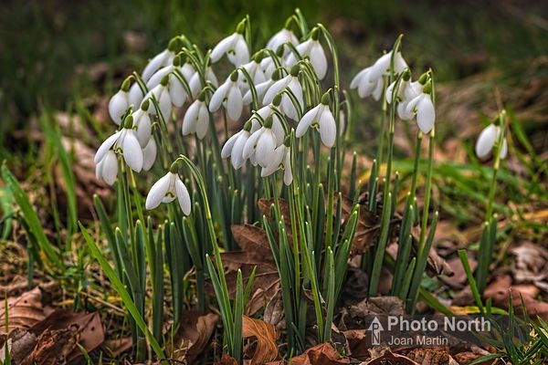 SNOWDROPS 02B - Snowdrops in woodland