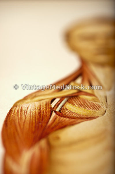 Muscles of the Shoulder
