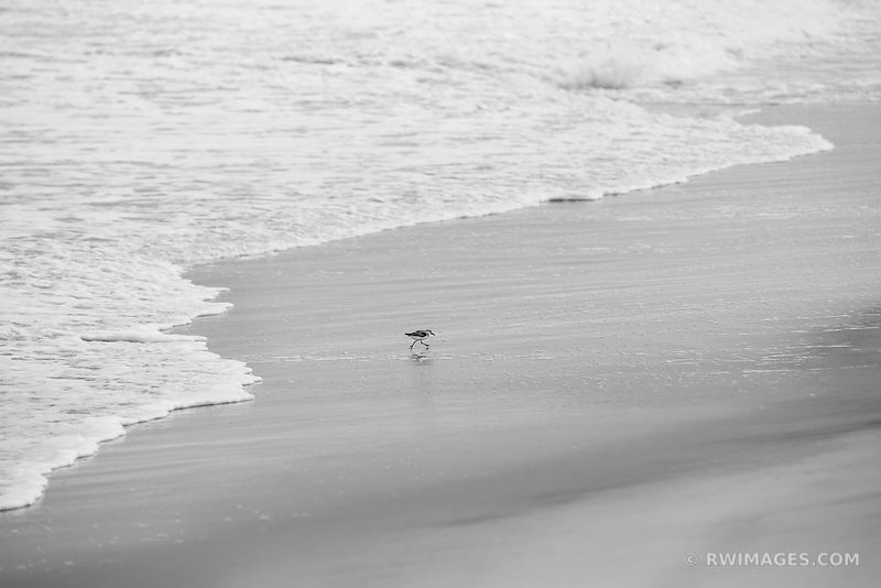 SANDPIPER ASSATEAGUE ISLAND NATIONAL SEASHORE MARYLAND BLACK AND WHITE