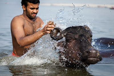 A farmer washes his water buffalo in the Ganges River near Jain Ghat, Varanasi, India.