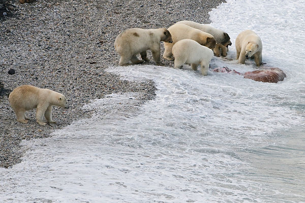 Polar bear (Ursus maritimus) feeding on carcass on beach, Wrangel Island, Far Eastern Russia, September.