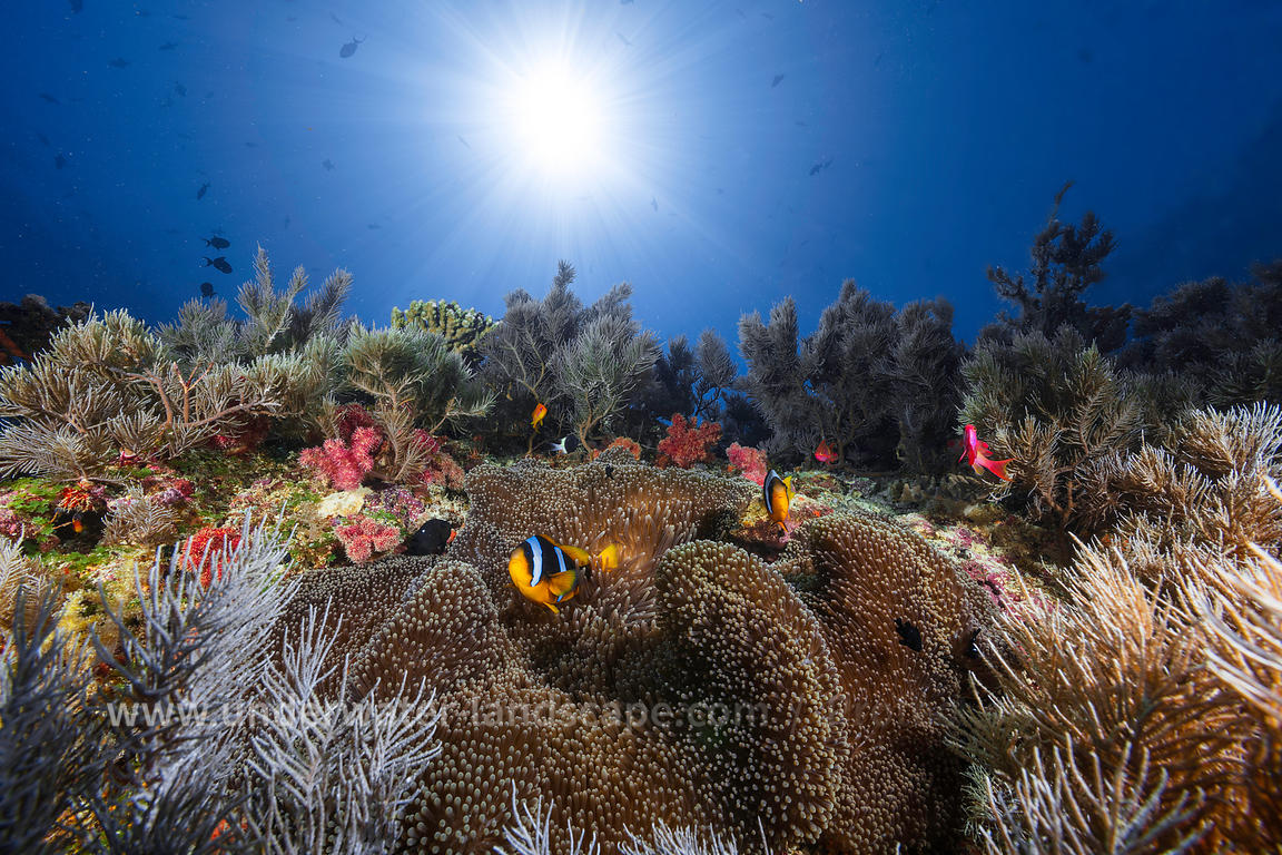Anemonfish on a underwater garden