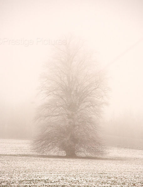 Tree standing in the Mist