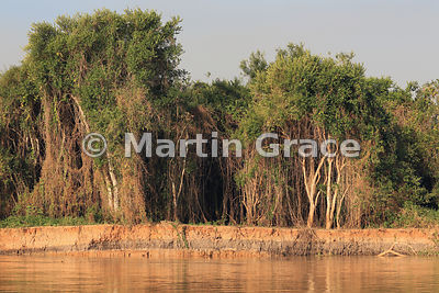 Gallery forest with hanging vines, River Cuiabá, Mato Grosso, Brazil